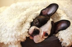 Free Small Cute Puppy Royalty Free Stock Image - 111314646