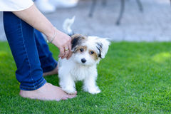 Small cute puppy on backyard grass with owner. An adorable, curious puppy on green grass in a backyard with owner Royalty Free Stock Photography