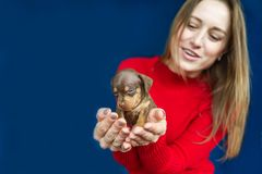 Small cute puppy of dachshund in hands of a young woman on blue background. Selective fokus in puppy royalty free stock photo