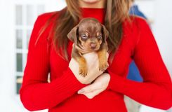 Small cute puppy of dachshund in hands of a young woman indoors. Closeup portrait stock images