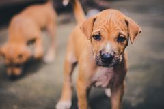 Small cute puppy dog looking up royalty free stock images