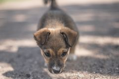 Small cute puppy looking in the camera Stock Photography