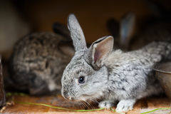 Small cute rabbit. Fluffy gray bunny on wooden background. soft focus, shallow depth of field Stock Photo