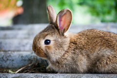 Small cute rabbit funny face, fluffy brown bunny on gray stone background. soft focus, shallow depth of field Royalty Free Stock Images