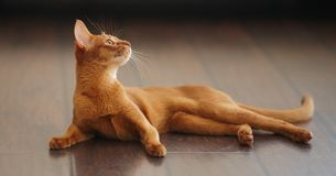 Cute red cat Royalty Free Stock Images
