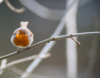 Free Small Cute Robin Bird Perched Royalty Free Stock Photography - 49966677