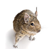 Small cute rodent Stock Images