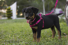 Small, cute rottweiler Royalty Free Stock Photography