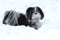 Dog shih tzu in the snow. Small cute shih-tzu doog in the snow royalty free stock photography
