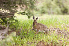 Small cute snowshoe hare. Stock Photography