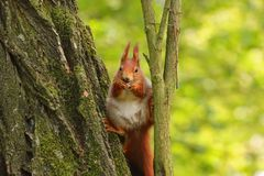 Small, cute squirrel resting on a tree Royalty Free Stock Photo