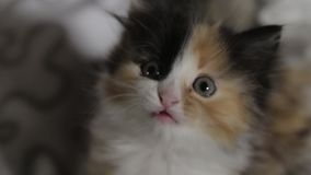 Small cute 5 week old colorful shorthaired kitten. Small cute 5 week old colorful shorthaired kitten stock video footage