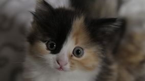 Small cute 5 week old colorful shorthaired kitten.  stock video