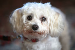 Small, cute, white dog looks into the camera Royalty Free Stock Image