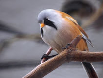 Small cute white orange and little blue bird sitting at the bran Stock Images