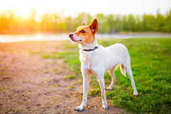 Small cute white and red dog posing. In sunset stock images