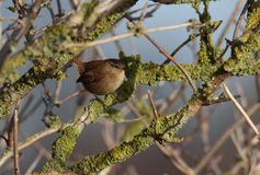Wren In Tree royalty free stock photo