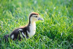 Small cute yellow duck walking curiously in a fresh green grass stock photo