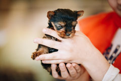 Small Cute Yorkshire Terrier Dog Puppy Stock Photo