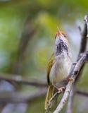 Small cutie bird. Cute small Dark-necked tailor-bird on green background stock photography