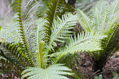 Small cycads Stock Photography
