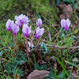 Small Cyclamen Royalty Free Stock Photos