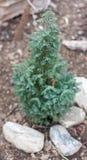 Small cypress tree Royalty Free Stock Photo