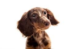 Small dachshund dog Stock Photo