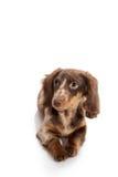 Small dachshund dog Royalty Free Stock Photography