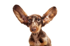 Small dachshund dog. On a white background Stock Photography