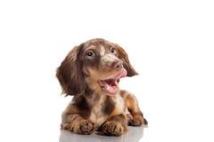 Small dachshund dog Royalty Free Stock Image