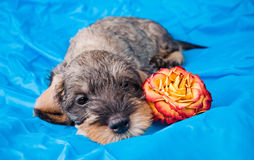 Small dachshund lying with a flower Stock Photo