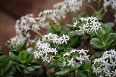 Dainty White Star Like Flowers. Small, dainty, white, star-like, flowers on a tropical green plant in full bloom stock photos