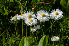 Small daisies on a background of green grass Royalty Free Stock Photography