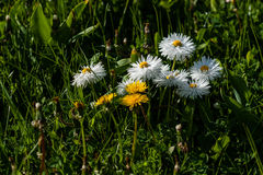 Small daisies on a background of green grass Stock Photo