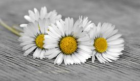 Small daisies bouquet. A bouquet of small daisies on a wooden bench Royalty Free Stock Photos