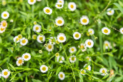 Small daisies on a green meadow. Selective focus Stock Photography