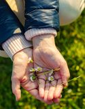 Small daisies in hands Stock Images
