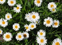 Small Daisies. Small white and yellow daisies blooming in summer Stock Images
