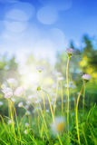 Small daisies in sunlight Royalty Free Stock Image