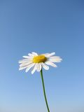 Small Daisy Royalty Free Stock Image