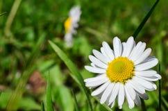 Small daisy Stock Image