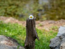 Small daisy flower on a cut driftwood Royalty Free Stock Image