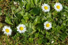 Small daisy flower Royalty Free Stock Photos