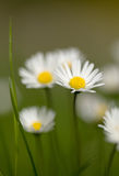 Small daisy flower Royalty Free Stock Images