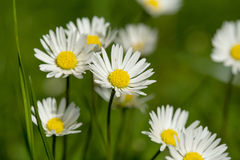 Small daisy flower Stock Images