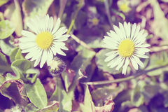 Small daisy flower in retro abstract color Stock Photography