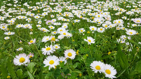 Small daisy  flowers in the grass Royalty Free Stock Photography
