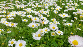Small daisy  flowers in the grass Stock Photos