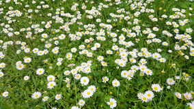 Small daisy  flowers in the grass Royalty Free Stock Images